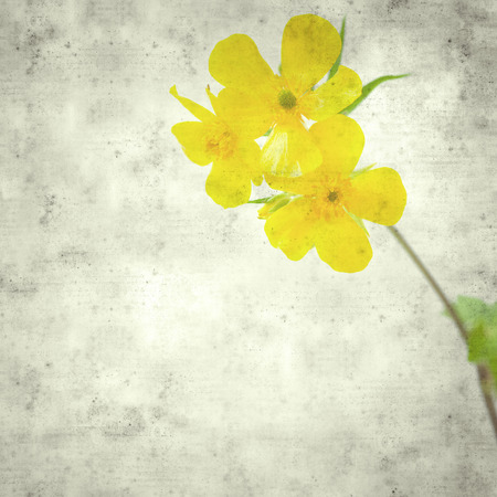textured stylish old paper background, square, with Ranunculus cortusifolius, Canary Buttercup Imagens - 118953495