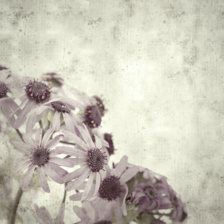 textured stylish old paper background, square, with abundant flowering of Pericallis webbii 스톡 콘텐츠 - 120290685