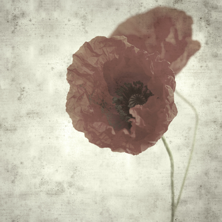 textured stylish old paper background, square, with red poppy