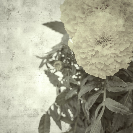 textured stylish old paper background, square, with Mexican marigold Stok Fotoğraf