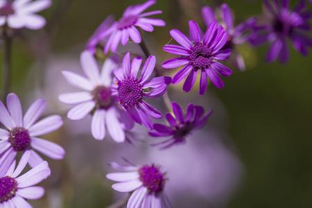 Flora of Gran Canaria - Pericallis webbii natural background