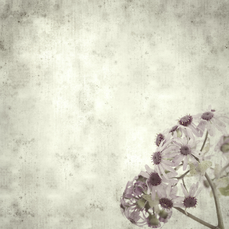 textured stylish old paper background, square, with abundant flowering of Pericallis webbii