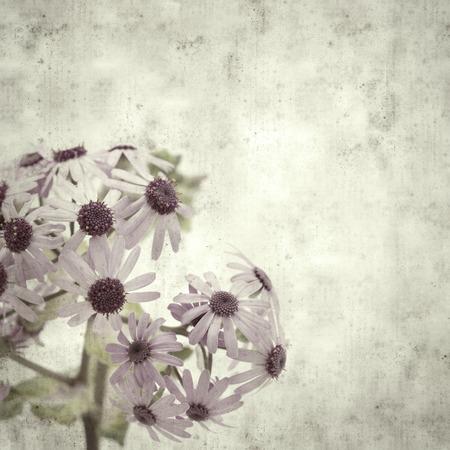 textured stylish old paper background, square, with abundant flowering of Pericallis webbii 스톡 콘텐츠