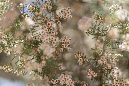 Flora of Gran Canaria - Erica arborea, tree heath