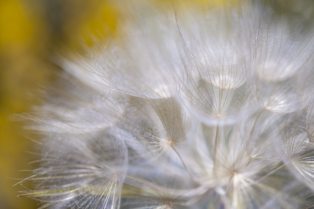 Flora of Gran Canaria -  salsify seedhead in sunlight