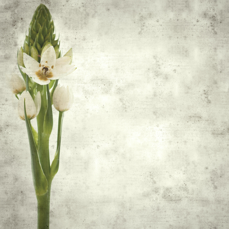 textured stylish old paper background, square, with white Ornithogalum flower