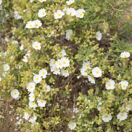 Flora of Gran Canaria - Cistus monspeliensis, Montpellier cistus