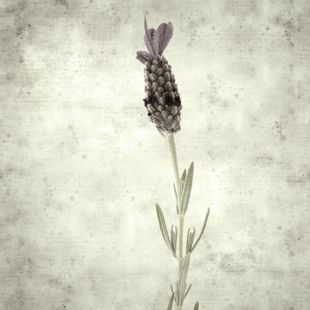 textured stylish old paper background, square, with purple topped lavender