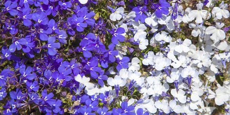 natural floral background with two colors of edging lobelia flowers