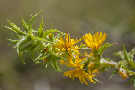Flora of Gran Canaria - spiny branches and yellow flowers of Scolymus grandiflorus Stock Photo