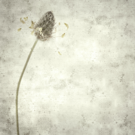 textured stylish old paper background, square, with small white inflorescence of harefoot plantain Plantago lagopus