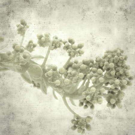 textured stylish old paper background, square, with succulent Aeonium undulatum endemic to Gran Canaria about to bloom