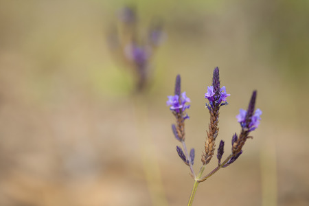 Flora of Gran Canaria - Canarian lavender, Lavandula canariensis, macro background 写真素材