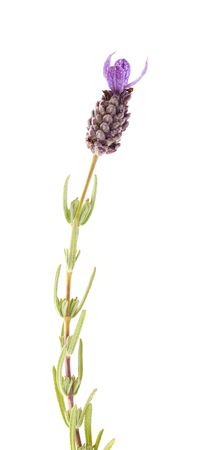 Flora of Gran Canaria -  Spanish lavender inflorescence on white