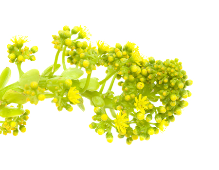 Flora of Gran Canaria -  Aeonium undulatum inflorescence isolated on white background