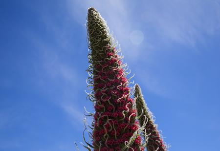 flora of Tenerife - Echium wildpretii, red bugloss of Mount Teide Stok Fotoğraf - 122982984