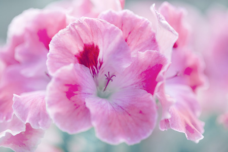 natural floral background with white and pink geraniums, toned Stock Photo