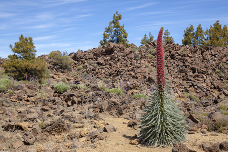 flora of Tenerife - Echium wildpretii, red bugloss of Mount Teide Stok Fotoğraf - 122983039