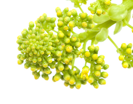 Flora of Gran Canaria -  Aeonium undulatum buds isolated on white background Stock Photo