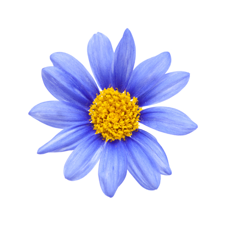blauwe madeliefjestruik Felicia amelloides bloem geïsoleerd op wit