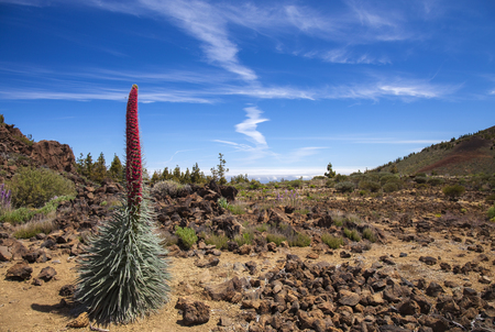 flora of Tenerife - Echium wildpretii, red bugloss of Mount Teide Stock Photo