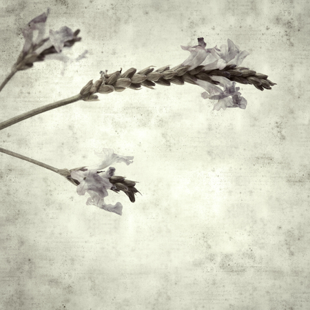textured stylish old paper background, square, with canarian lavender flowers Stock Photo