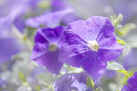 natural floral background with plue petunia flowers