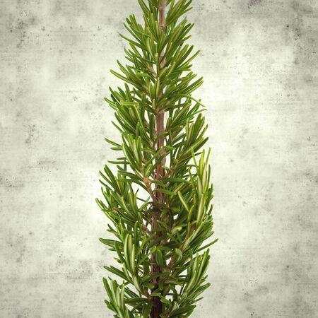textured stylish old paper background, square, with young rosemary twigs
