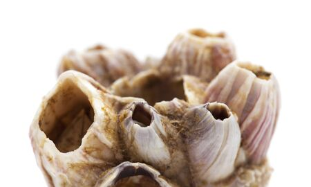 dry barnacles shells isolated on white background Stock fotó