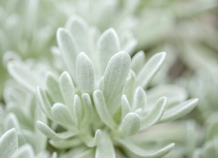 Flora of Lanzarote - Helichrysum gossypinum, cotton wool everlasting, Vulnerable species