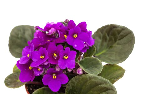 purple african violet isolated on white background Imagens - 128226683