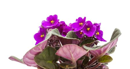 purple african violet isolate don white background Imagens - 128227002