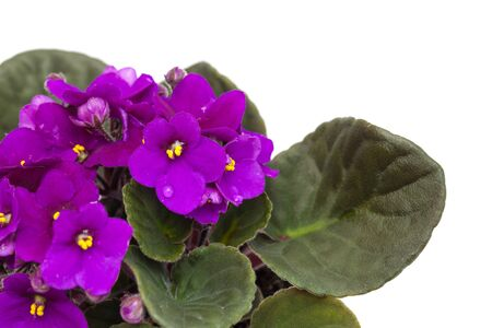 purple african violet isolated on white background