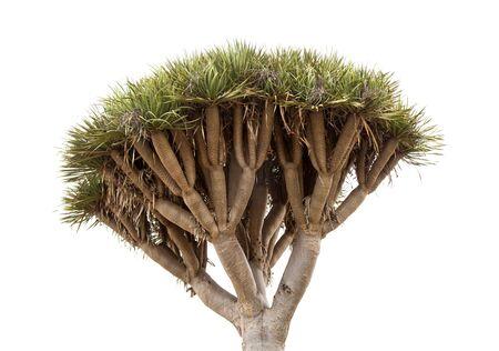 Dracaena draco, Canary islands dragon tree, isolated on white background