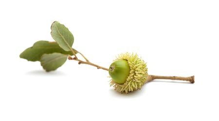 flora of Gran Canaria - acorn of Quercus suber, cork oak, isolated on white