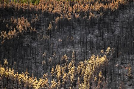 Gran Canaria after wildfire of August 2019, walking route La Cruz de Tejeda - Artenara,  Canarian pines in different degrees of fire damage 免版税图像