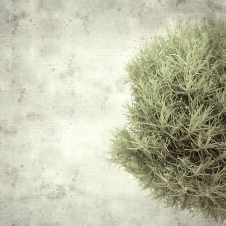 textured stylish old paper background, square, with unusual green Dianthus barbatus carnation