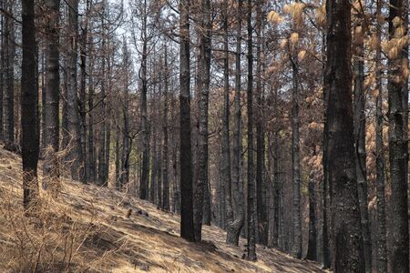 Gran Canaria after forest fire, around Degllada de Cruz Chica pass, canary pines in various stages of burn 免版税图像
