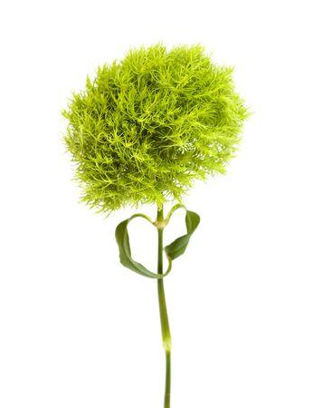 unusual green Dianthus barbatus carnation isolated on white background Stok Fotoğraf