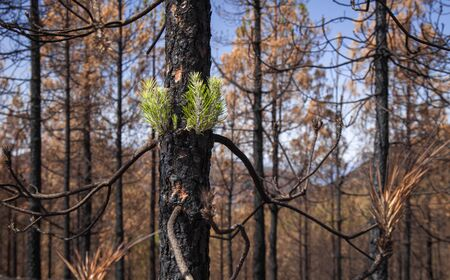 Gran Canaria, October, Canary Pine Pinus canariensis starting to recover after wildfire of two months ago Reklamní fotografie