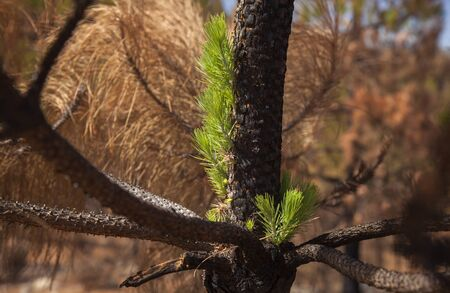 Gran Canaria, October, Canary Pine Pinus canariensis starting to recover after wildfire of two months ago Stockfoto