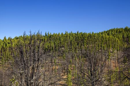 Gran Canaria, October, two years after wildfire of September 2017, bottlebrush shaped Canary Pines after re-sprouting from the trunk Stockfoto - 132306333