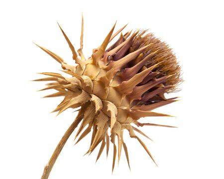 dried artichoke flower isolated on white background