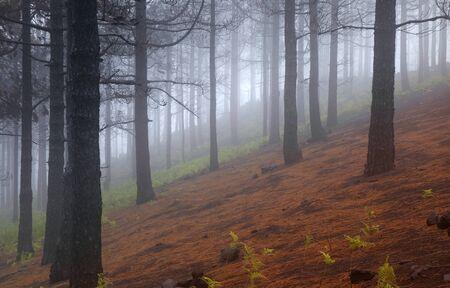 Gran Canaria, October, hiking route Cruz de Tejeda - Teror, Canary Pines damaged by fire, fog Stock Photo