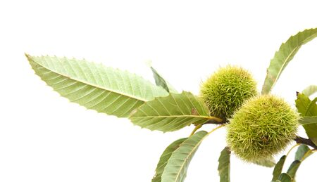 Flora of Gran Canaria - branch of sweet chestnut isolated on white background
