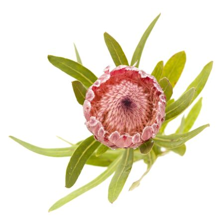 pink Protea compacta flower isolated on white background