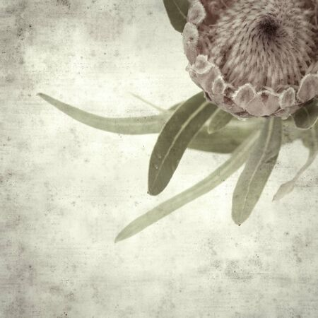 textured stylish old paper background, square, with pink protea flower