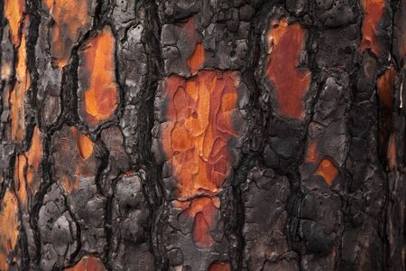 Gran Canaria, November 2019, Nature park Tamadaba three months after wildfire, burnt bark of Canary pine, some flakes fallen