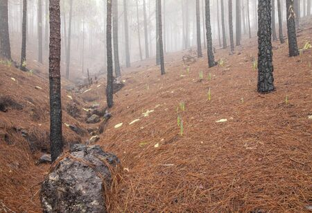 Gran Canaria, November 2019, Nature park Tamadaba three months after wildfire, partially burnt Canary Pines with red-orange dead needles Stock Photo