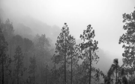 Gran Canaria, November 2019, Nature park Tamadaba three months after wildfire, burnt Canary Pines, monochrome
